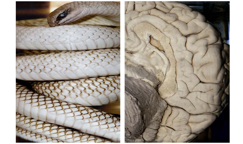 UNTITLED DIPTYCH, 2008, PHOTOGRAPH, 30 X 50 inches (LEFT TO RIGHT) ALBINO SNAKE, OXFORD UNIVERSITY; CHARLES BABBAGE'S BRAIN, LONDON.  BABBAGE IS THE FATHER OF MODERN COMPUTING.
